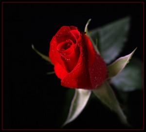 kopia-roza-klasyka-1565