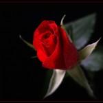 kopia-roza-klasyka-1566
